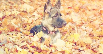 facts about german shepherds