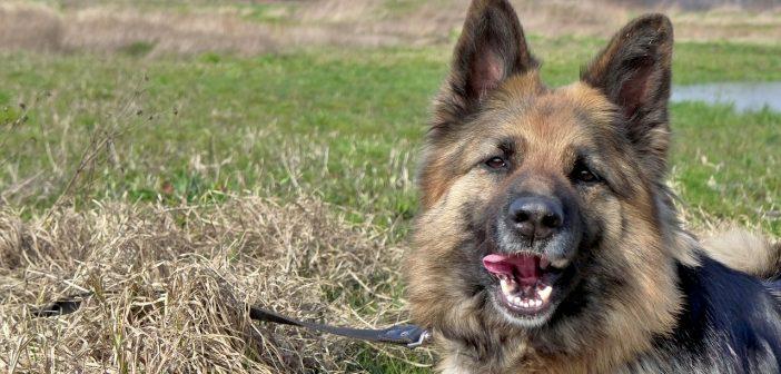 German Shepherd Leash Training How To Train To Walk On A