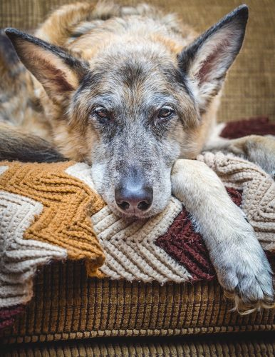 Best Dog Bed For Your German Shepherd Dog Or Puppy Reviews