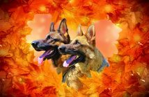 German Shepherd Resources Page
