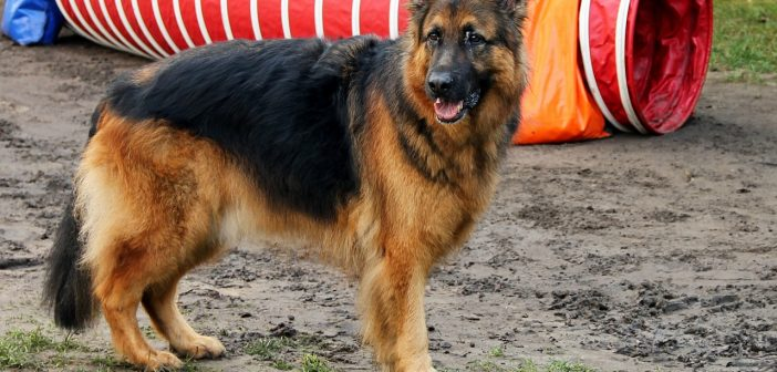 German Shepherd Training: Tips & How-To Advice From A Professional Dog Trainer