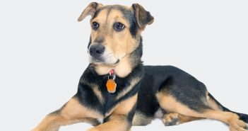 German Shepherd Lab Mix: X Things To Know About The Sheprador / Labrashepherd