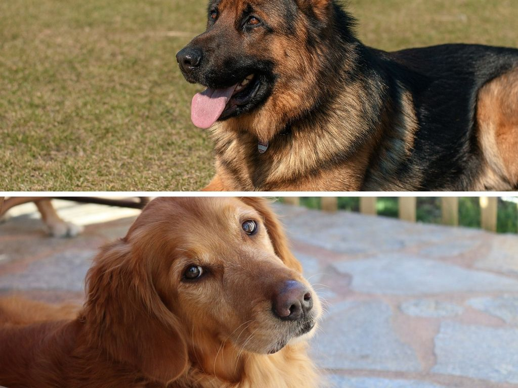 What To Know About A German Shepherd Golden Retriever Mix